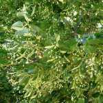 Fiore Tiglio